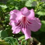 Pink Streptocarpus