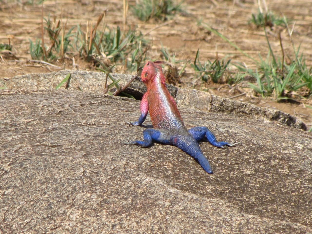 African Lizard
