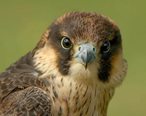 Hawk in Exquisite Detail