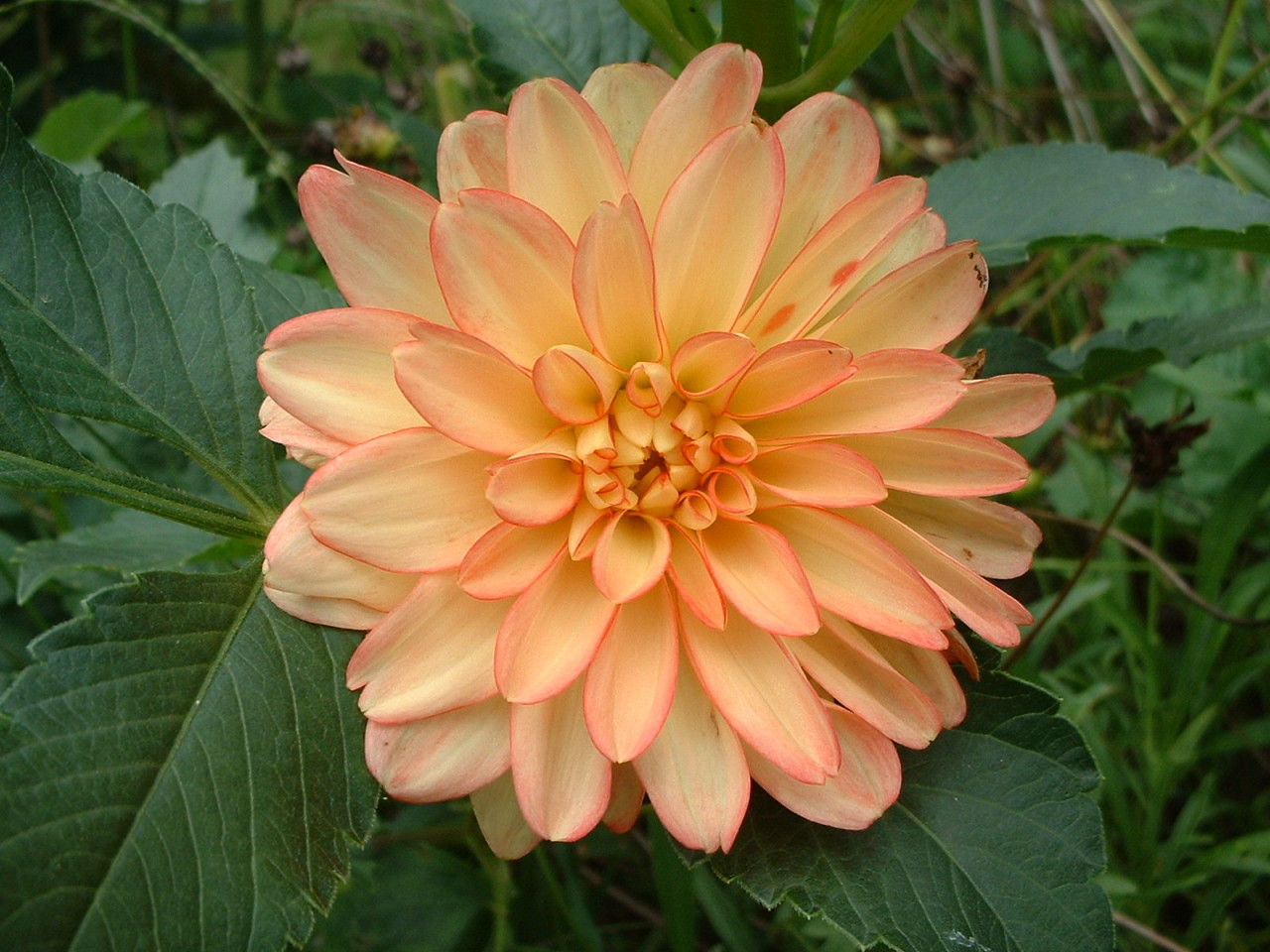 Perfect Peach Giant Dahlia