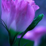 Pink Turkish Bellflower
