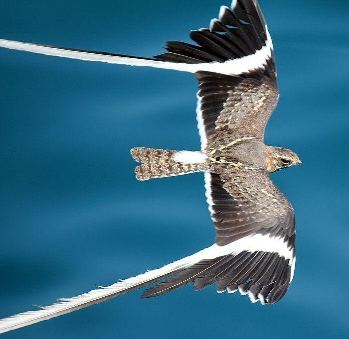 The Male Pennant-Winged Nightjar