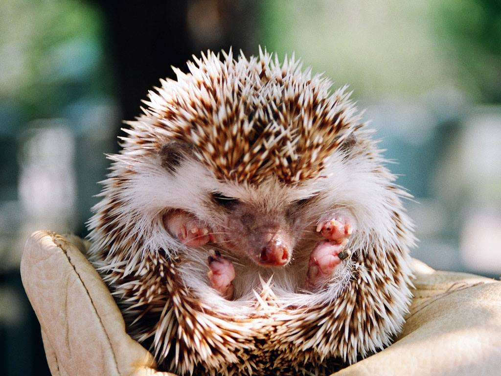Cute Hedge Hog