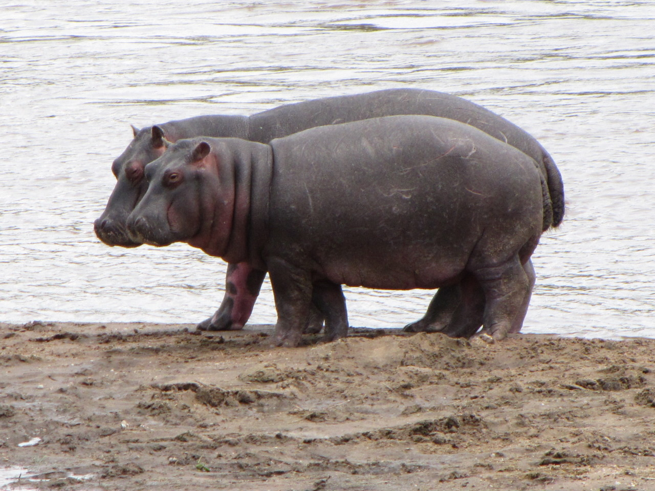 Affectionate Hippos