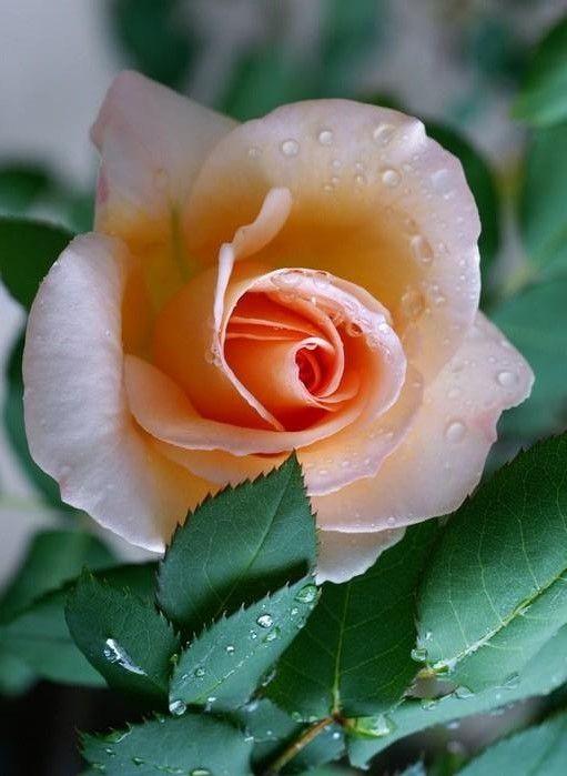 Wet Peach Rose