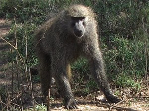 Large Male Baboon