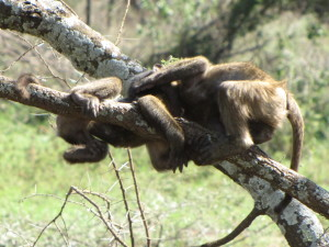 Two Baby Baboons at Play