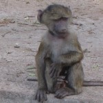 The Baboons : Fun and Survival – On Safari in Tanzania