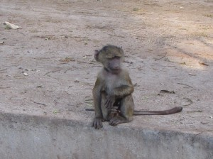 Baby Baboon at Roadside