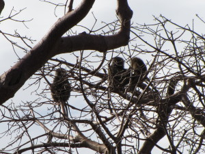 Baboon Families High in a Baobab Tree for Nightly Protection from Predators