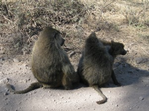 Baboon Family Group