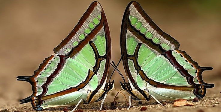Twin Great Nawab Butterflies