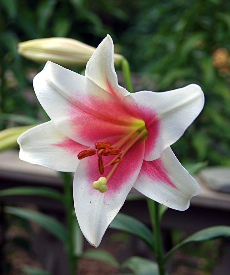 LO (longiflorum or Easter lily crossed with oriental) called Triumphator by conradartglassgardens.blogspot