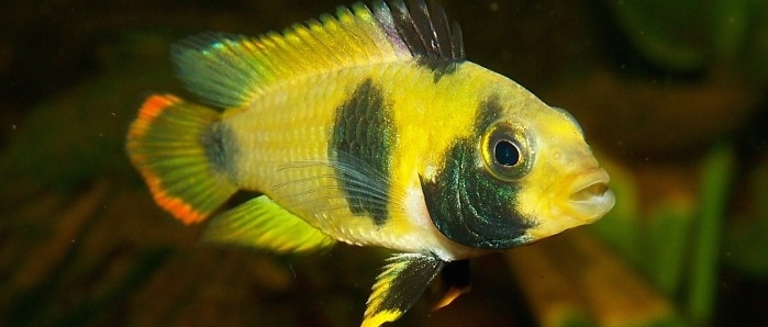 Nijsseni's Dwarf Cichlid found on badmanstropicalfish.com