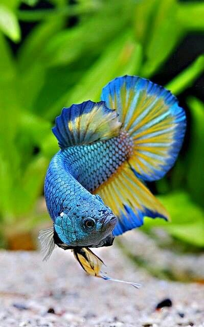 Two dozen new dazzling images added to the exquisite for Betta fish colors