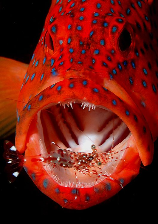 Coral Trout & Cleaner Shrimp Pinned from marine-cameras.com