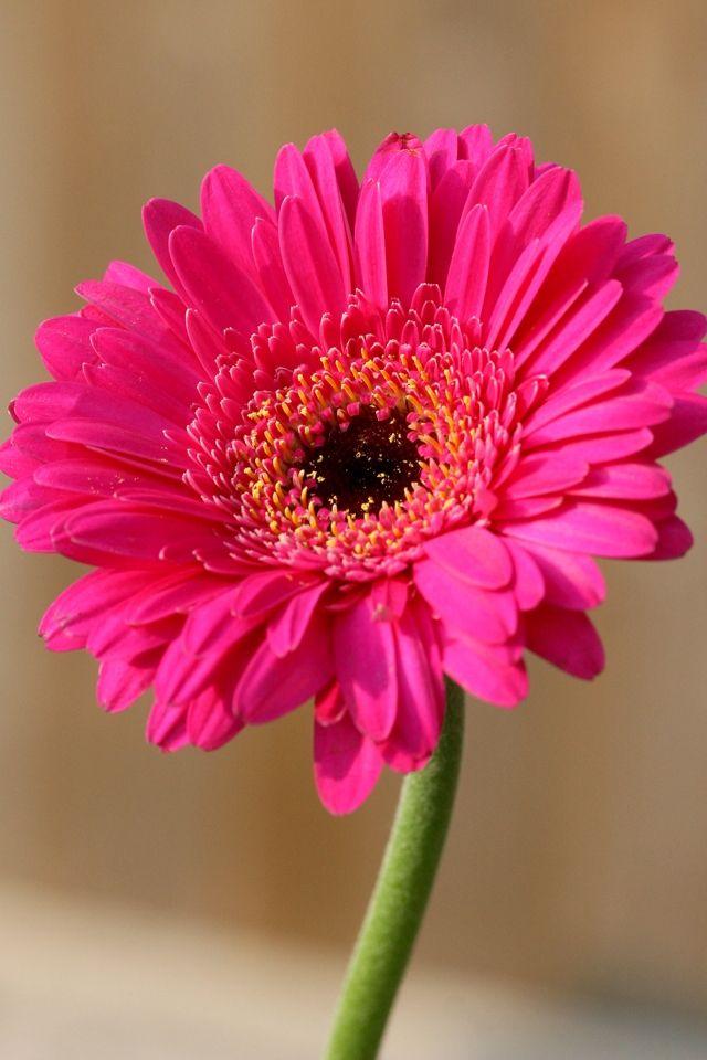 Gerbera Daisy Found on iphoneretinawallpapers.com