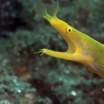 Mucky Secrets – Part 5 – Snake Eels & Moray Eels – Lembeh Strait