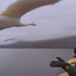David Attenborough's Swan Adventure