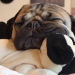 Doug the Pug's Bedtime – Too Much Cuteness!