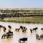 Serengeti National Park – Migration of Wildebeest and Zebras