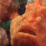 Mucky Secrets Part 10 – Frogfish – Lembeh Strait