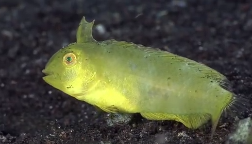 Juvenile Yellow Blotched Razor Fish