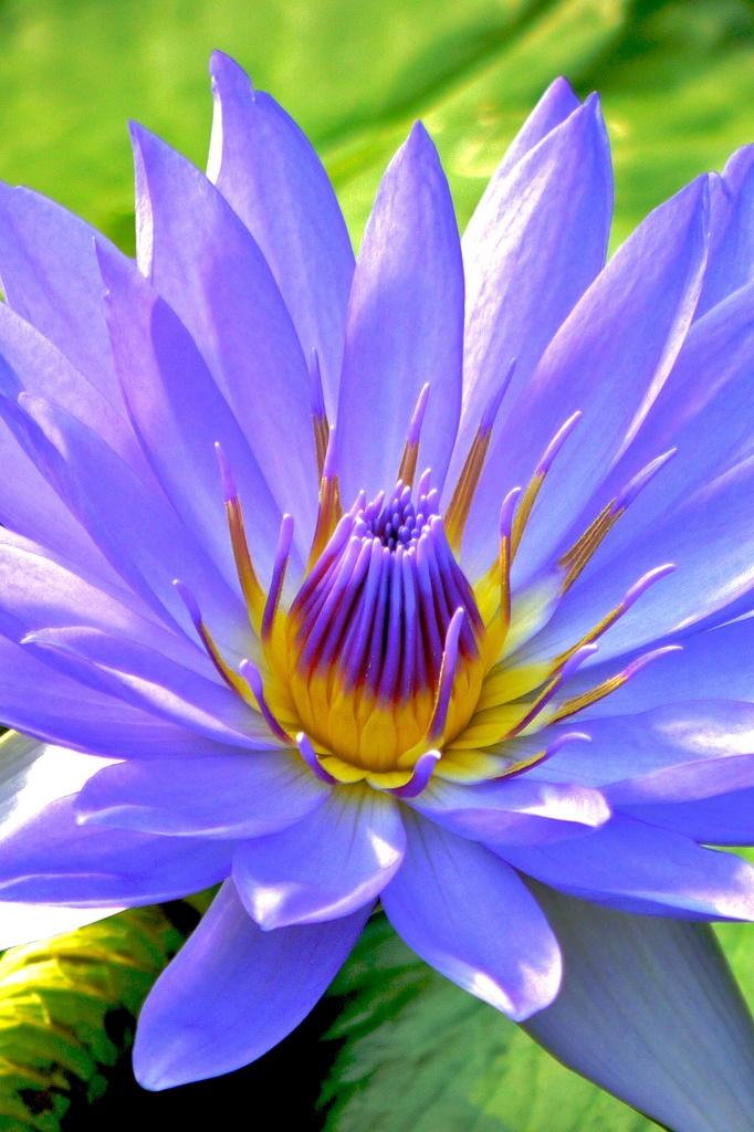 Water Lily Fresh Blue by shinichiro* on Flickr