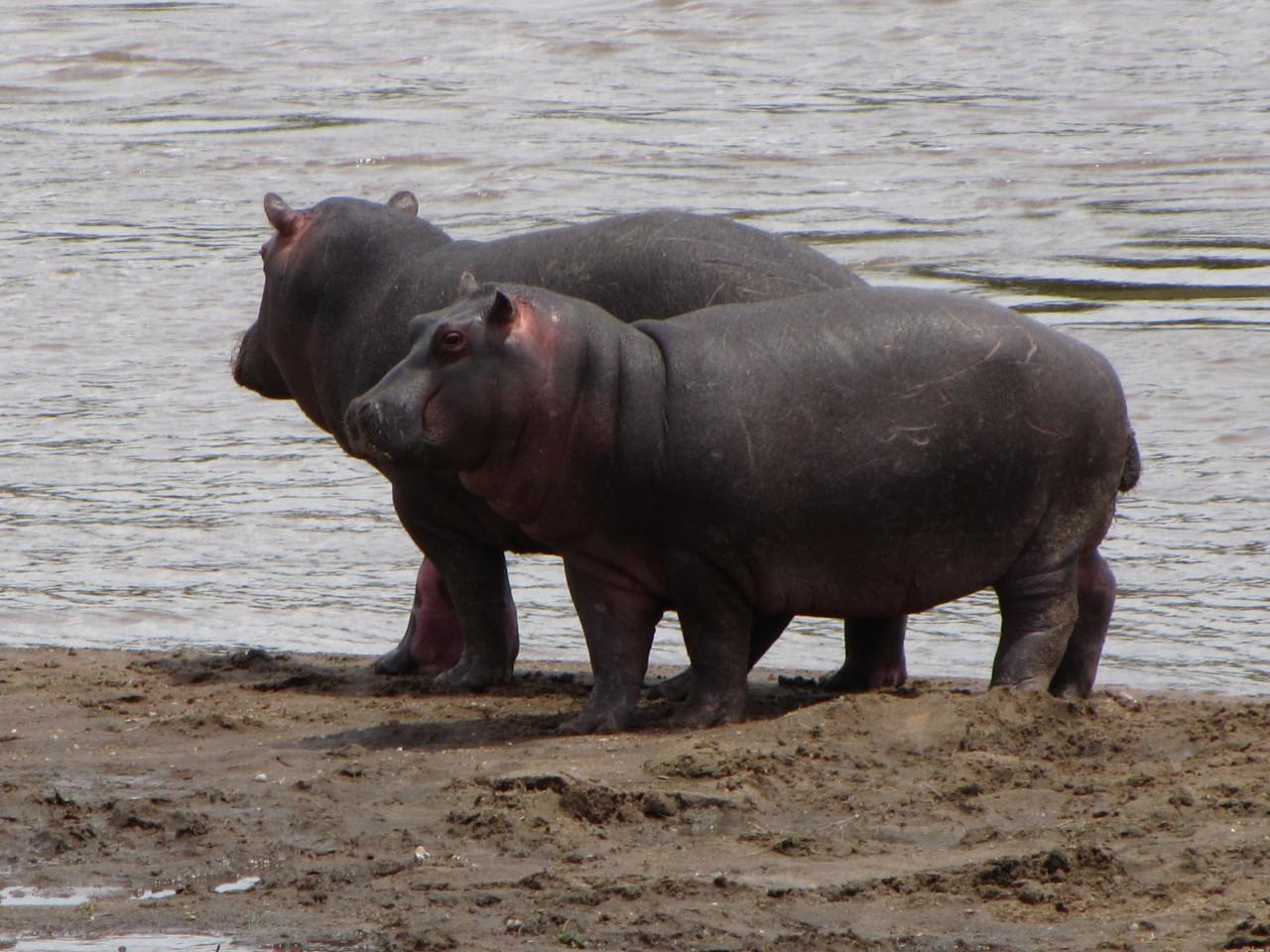 Hippo Couple