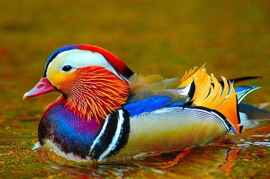 colorful-wood-duck