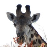 Tanzania Giraffe -Perfect pose --- down to the eye lashes!