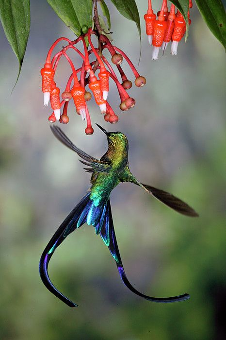 Violet-tailed Sylph Aglaiocercus