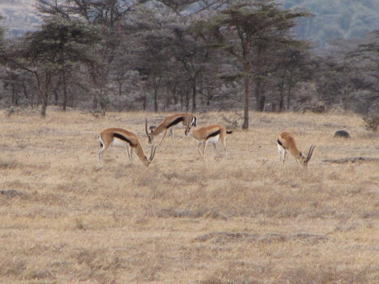Several Thomson's Gazelles