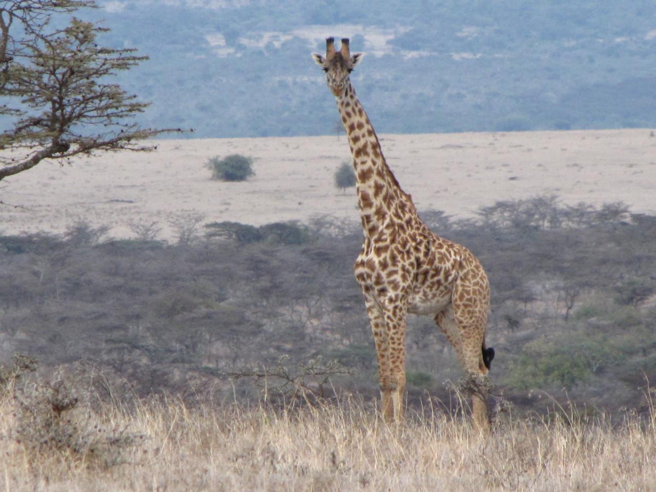 Gorgeous Giraffe in Full View - Wow!