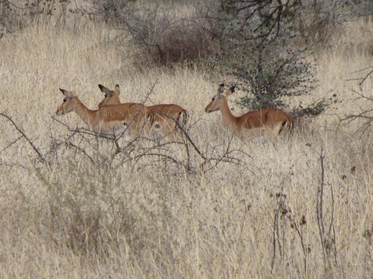 Several Female Impala