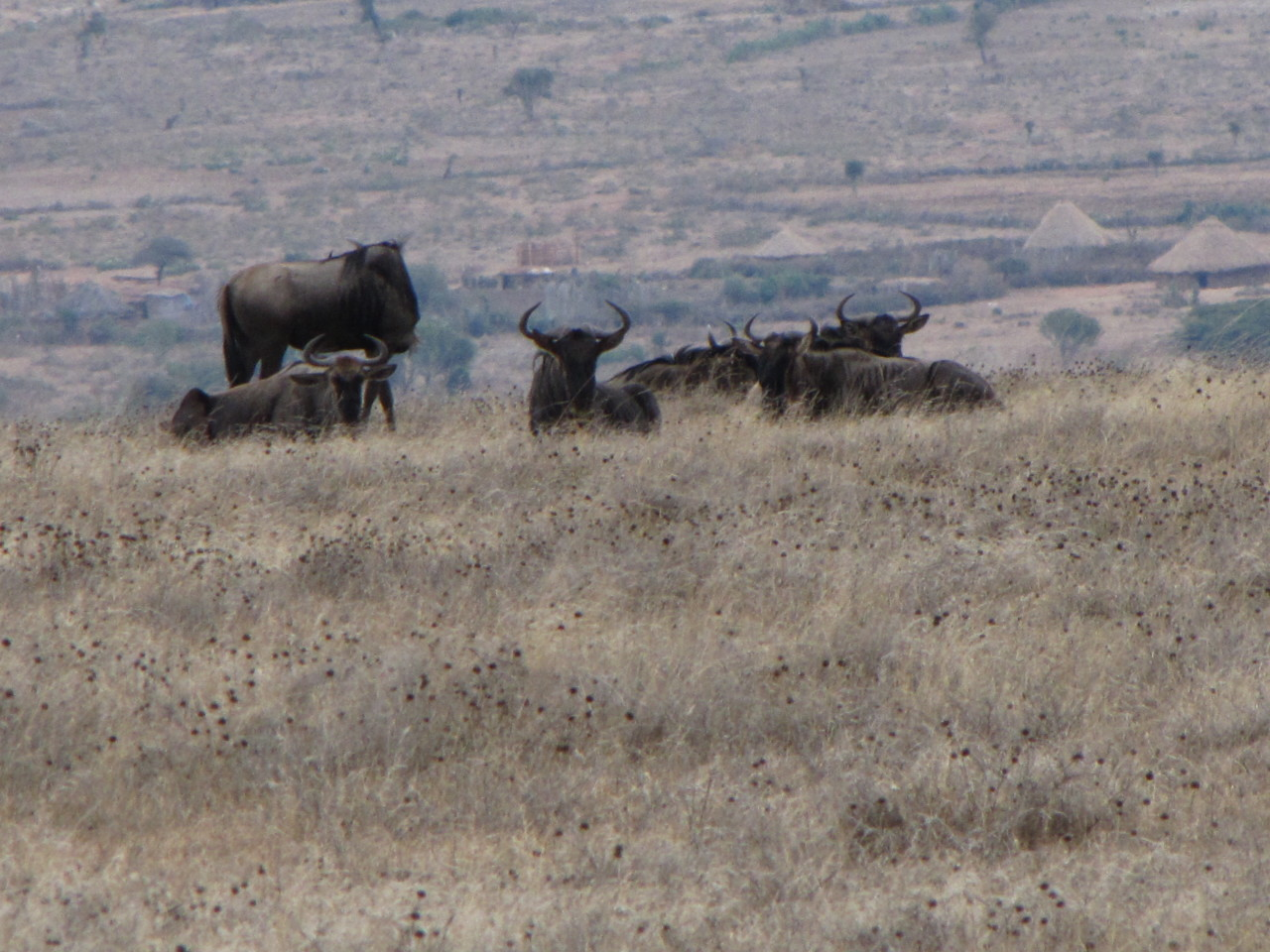 Small Group of Wildebeest