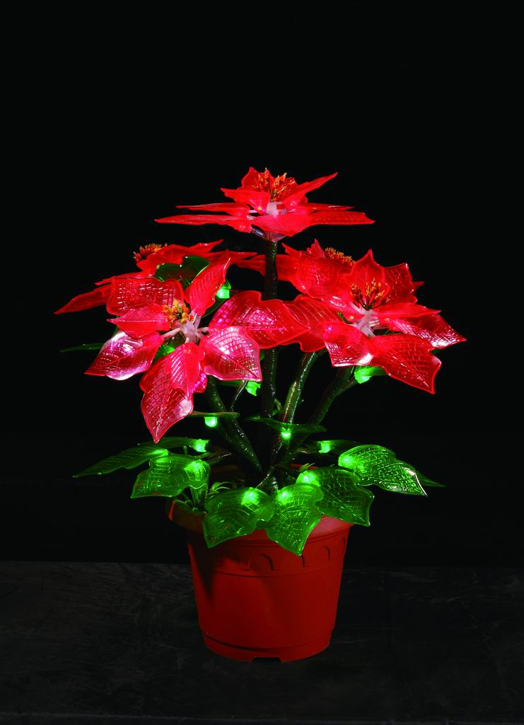 Christmas Pointsettia Flowers Under Lights