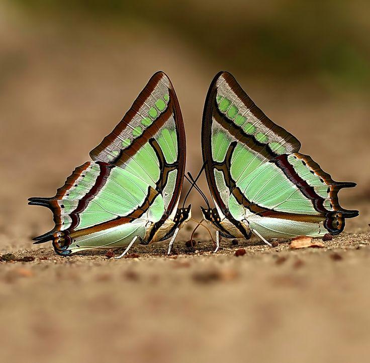 Twin Great Nawab Butterflies