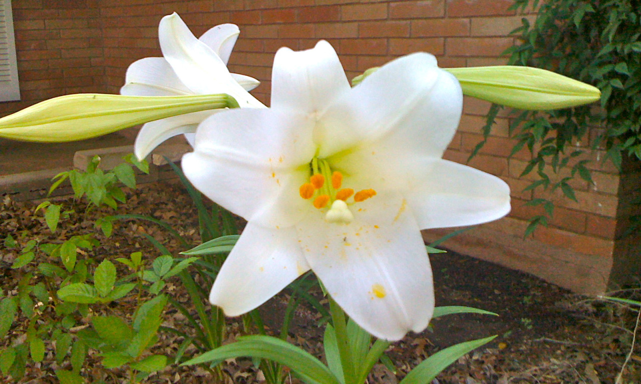Featured Easter Lily by Kramer Wetzel