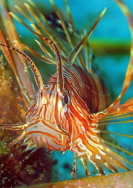 Lionfish by i8ashark on Flickr