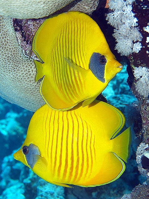 Masked Butterflyfish by vanveelen on Flickr
