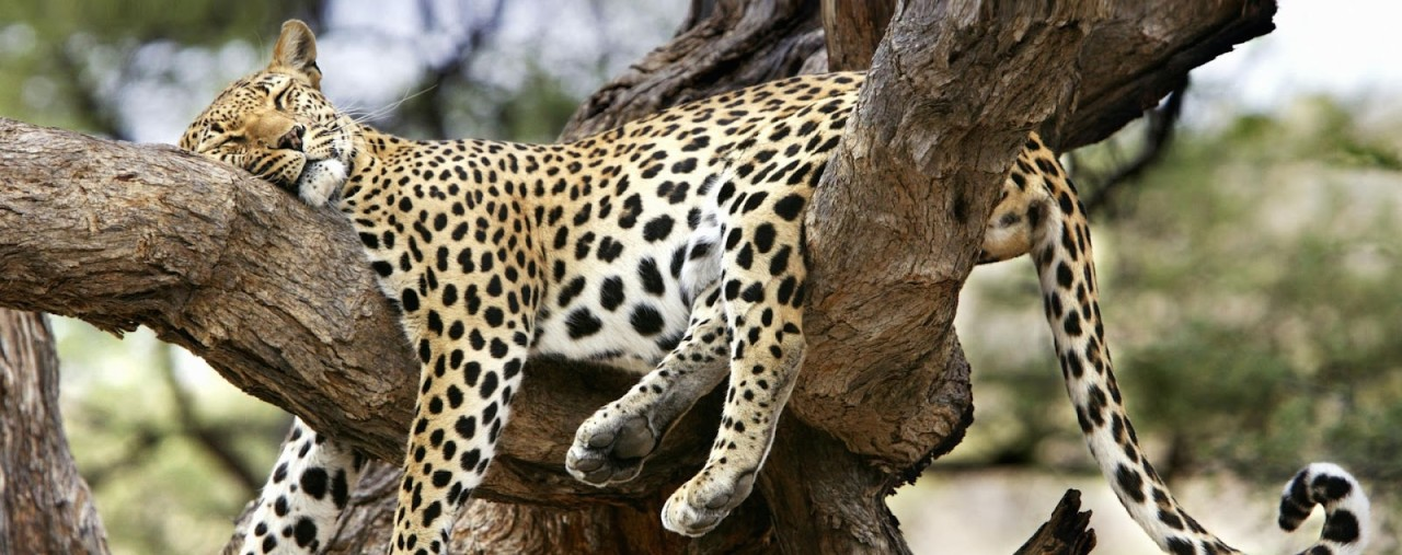 cute leopard on tree resting