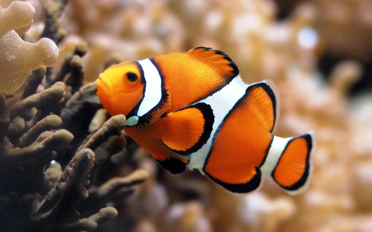 Orange Clown Fish by Unknown
