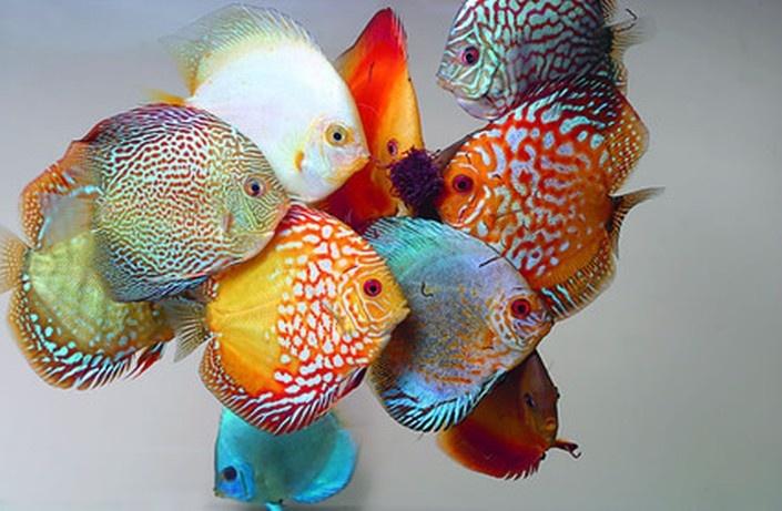 Discus Fish Found on ichthyologist.tumblr.com