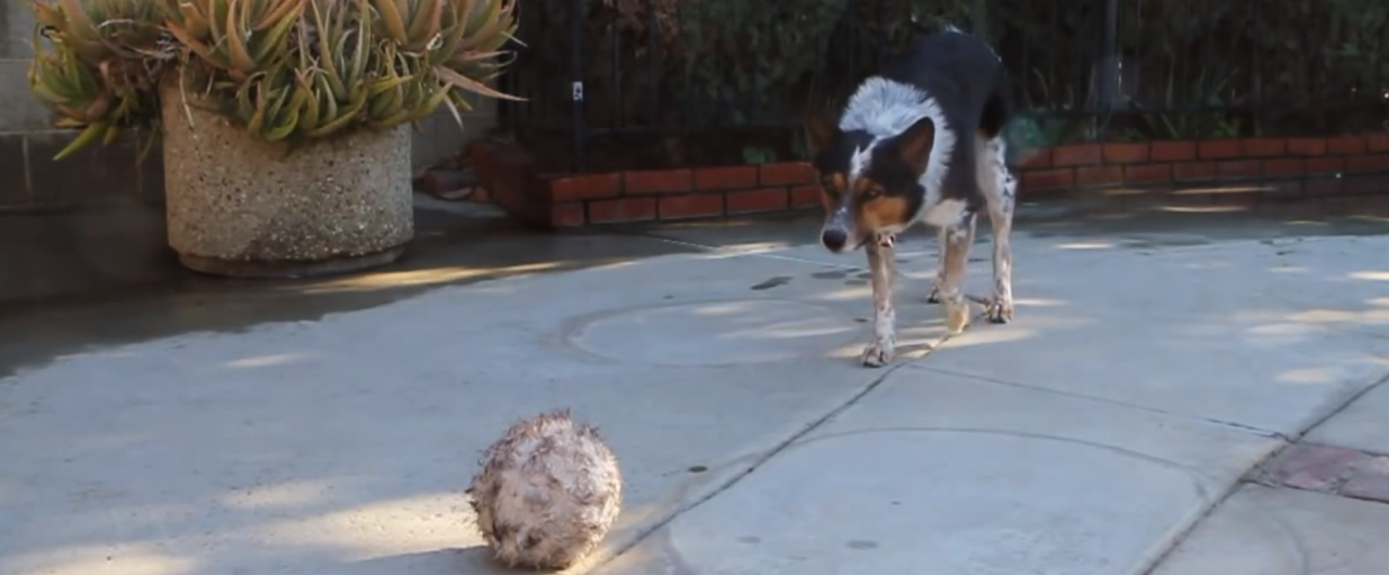 Smartest (or Most Obedient) Dog in the World Screen Shot