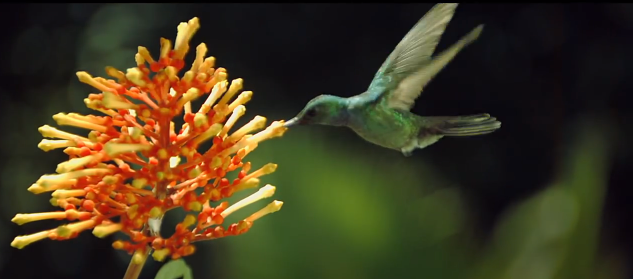 Hummingbird Pollination Screen Shot