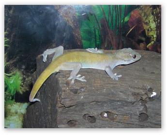 Listo the Golden Gecko