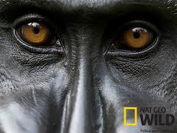 African Gorilla via NAT Geo
