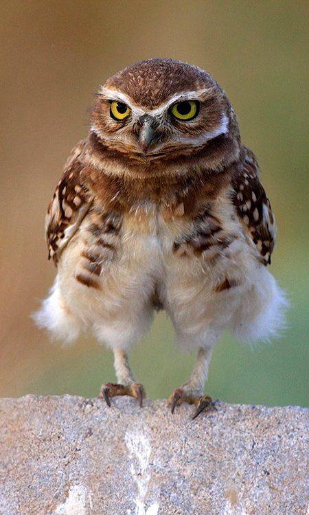Like My Pants? Burrowing Owl (by KJ Thurgood)