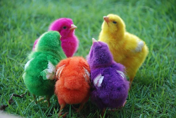 Rainbow Chicks Found on sphotos-a.xx.fbcdn.net